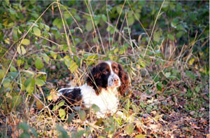 Gun Dog on the Petworth Home Shoot